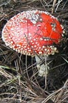 Two Amanita muscaria